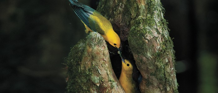 sfw_donald_wuori_prothonotary_warbler_