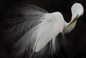 sfw_melissa_groo_great_egret_aud0515_md20