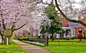 A spring-time scene of a main street sidewalk nestled between a pink blossom tree and brick home