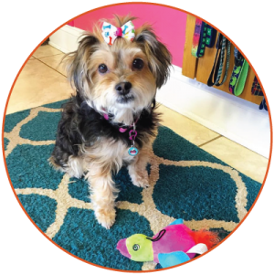 A Yorkie puop showcases hair accessories from Gabbi's pet boutique.