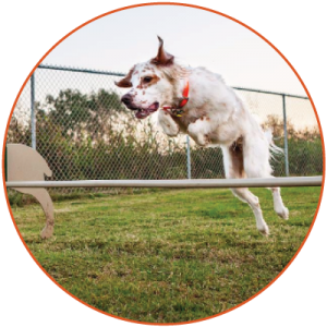 Winston the English Setter jumping over a dog obstacle at the Community Dog Park, photo by George Henderson.
