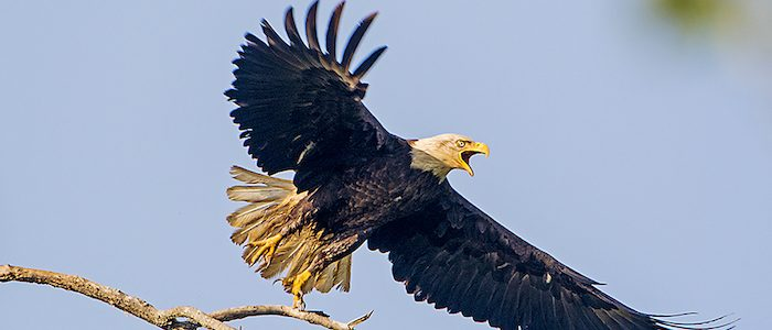A photo of a bald eagle in Henderson, Kentucky photographed by wildlife photographer Chuck Summers.