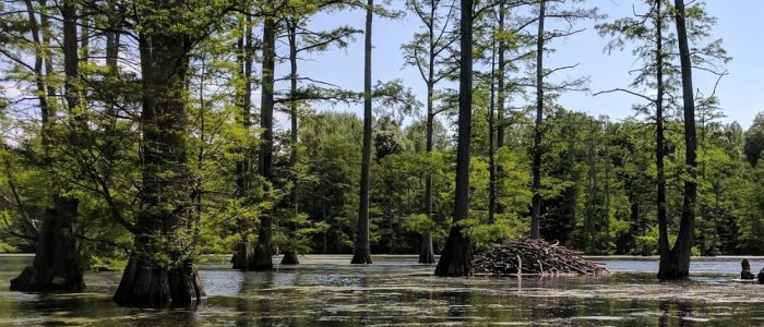 Photo of a beaver dam   among cypress trees near the Duncan Tract of the Henderson Sloughs