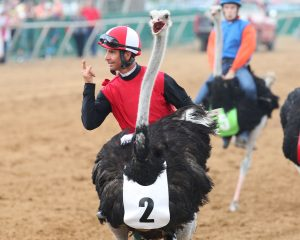 A jockey waves to the crowd while riding an ostrich at Ellis Park's annual camel and ostrich races