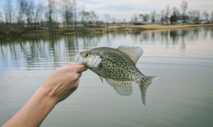 A small speckled crappie plucked from the end of a fishing line at Niagara Lake