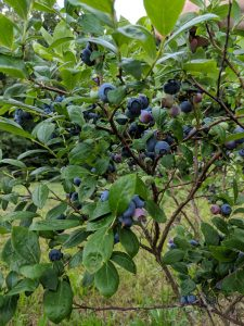 Pick your own blueberry bushels at High Hill Orchard + Farm