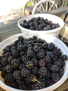 Blackberries by the bushel at High Hill Orchard + Farm