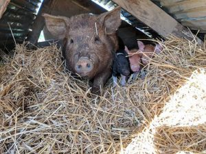 Mama pig and three piglets nestled in hay at High Hill Orchard + Farm