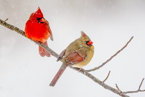 Two cardinals perched on a limb in the middle of winter, photo by Chuck Summers.