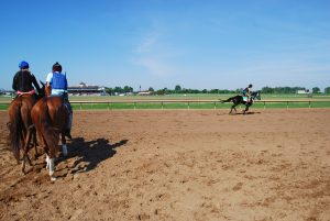 Thoroughbred horses warm up for daily exercise around the track at Ellis Park.