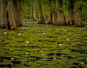 Lily pads and cypress trees at the Henderson sloughs.