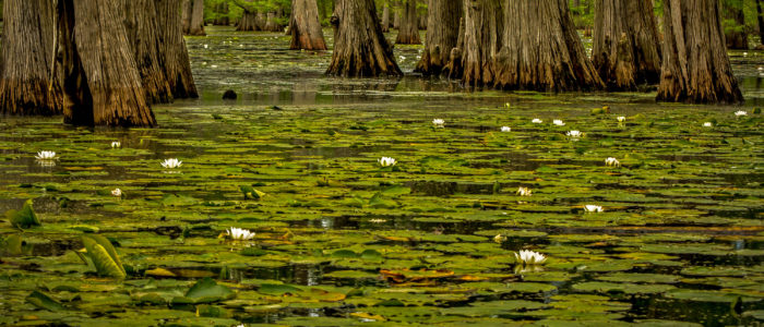 Lily pads and cypress trees at the Henderson sloughs