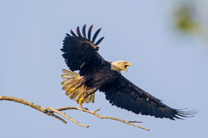 A bald eagle taking off in flight in the Henderson Sloughs