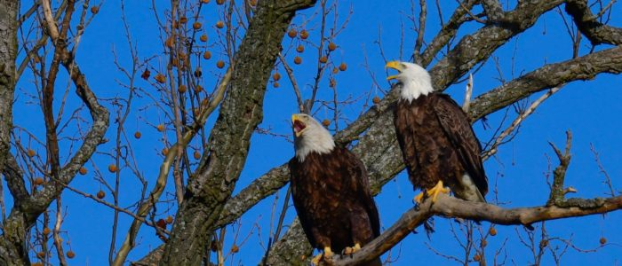 A pair of bald eagles at the Henderson Sloughs
