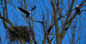 A pair of bald eagles at their nest in Henderson Sloughs